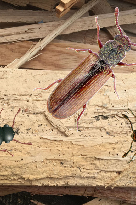 hardwood flooring beetles