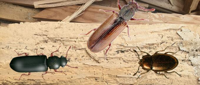 hardwood flooring beetles